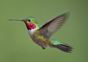 Broad-tailed Hummingbird, one of 4 species that frequents the Pikes Peak area.