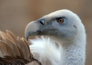 Eurasian Griffon Vulture_CheyenneMtnZoo-CO_LAH_5316