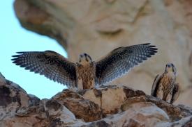 prairie fledlings -pica- C -DSC_2061