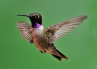 Black-chinned Hummingbird 5x7-001
