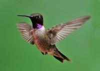 Black-chinned Hummingbird 5x7-001