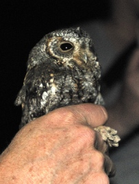 Flammulated Owl_ManitouExperimentalForest-CO_LAH_1868-001