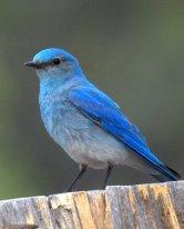 Mountain Bluebird_RidgwaySP-CO_LAH_4246