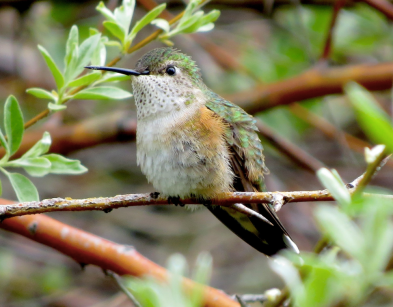 Female, Broad-tailed Hummingbird