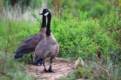 Canada Geese w/gosling