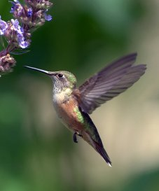 Rufous Hummingbird female_BFAlpineGarden-Vail_LAH_4846