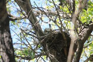 Grt Horn Owlet