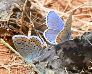Blue Melissa Butterflies