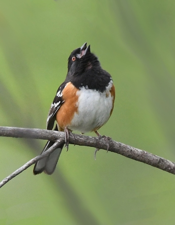 Spotted Towhee singing
