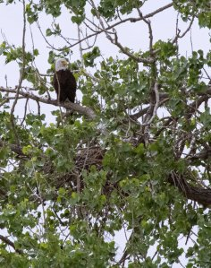 Bald Eagle & nest