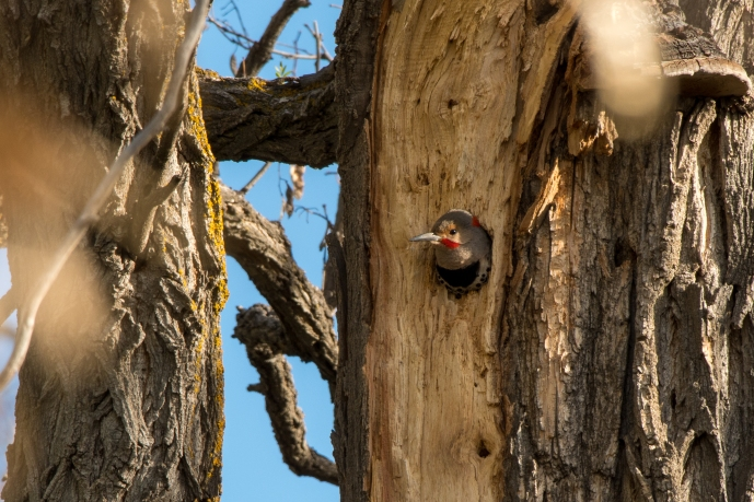 Northern Flicker, Horse Creek Ranch
