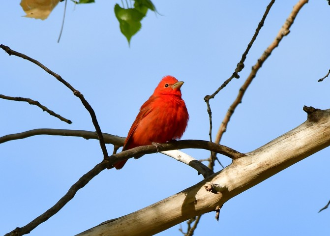 Summer Tanager, Horse Creek Ranch