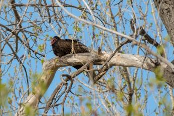 Turkey Vulture, Horse Creek Ranch