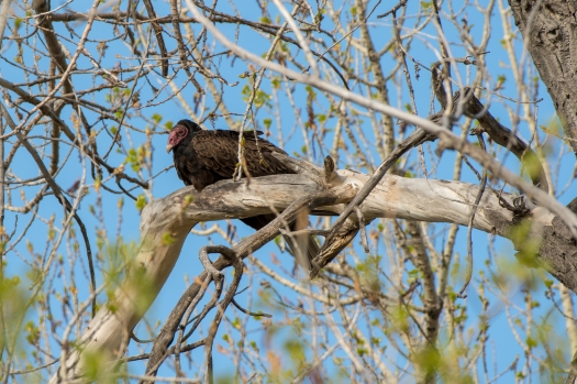 Turkey Vulture, Horse Creek Ranch