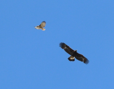 Red-tailed Hawk & Golden Eagle confrontation
